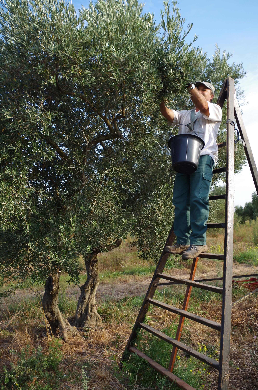 Das beste Olivenöl gibt es dann, wenn die Erte handgelesen wird.