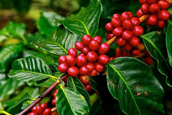 kaffeebohne-ruanda