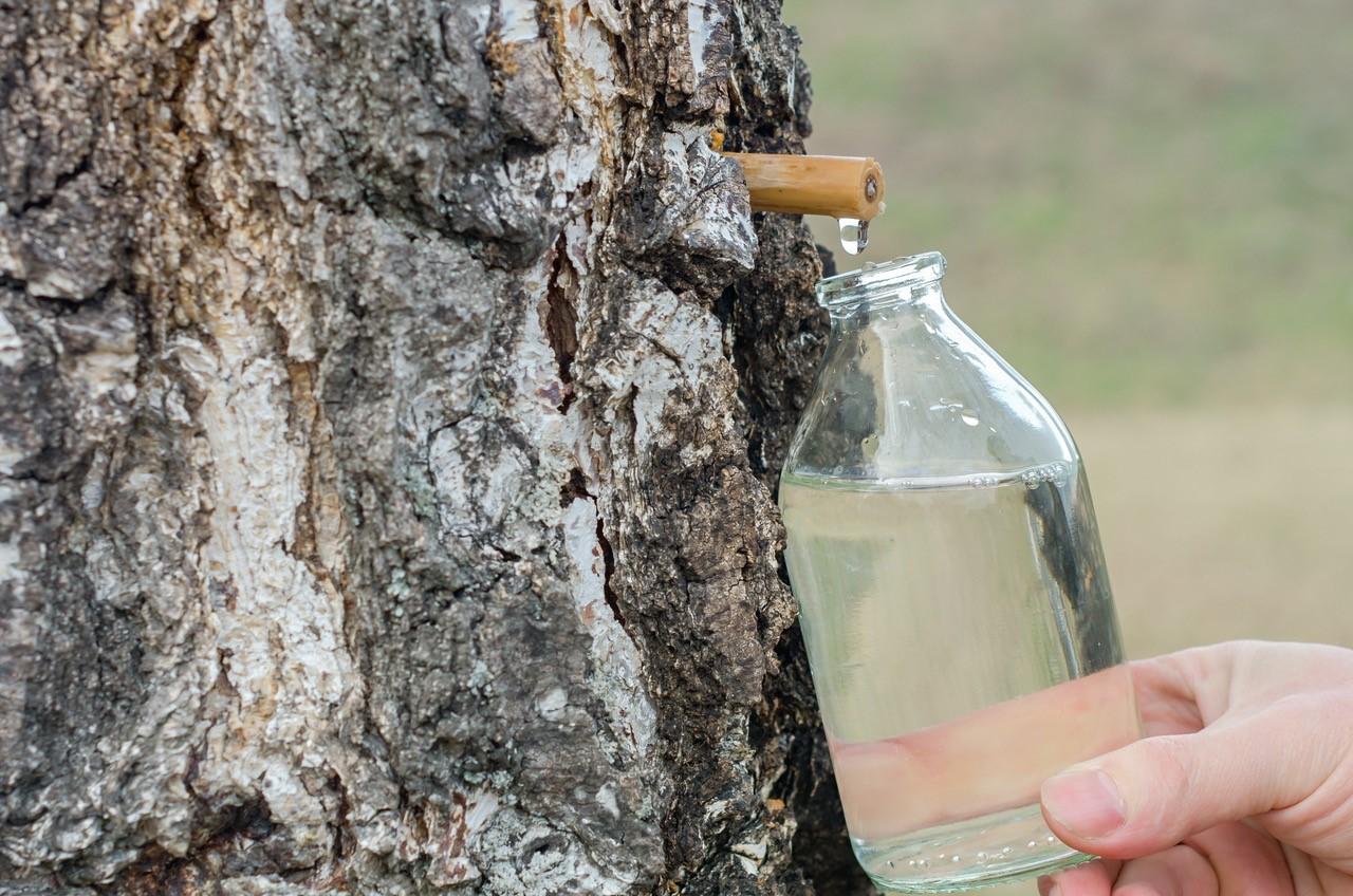 Birkensaft - der gesunde Energydrink aus der Natur