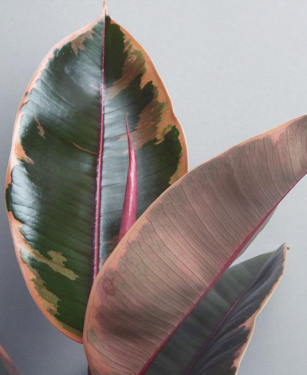 Ficus lyrata Belize Zimmerpflanzen kaufen, plant shop Berlin, cool plant shop The Botanical Room pflanzen kaufen keramik cool